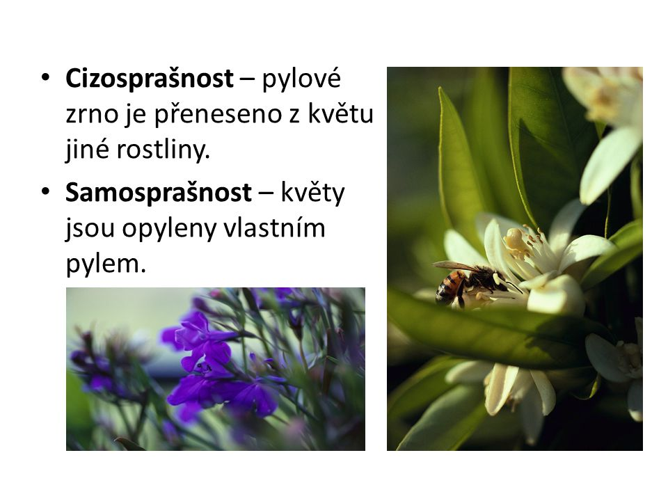 Cizosprašnost – pylové zrno je přeneseno z květu jiné rostliny.