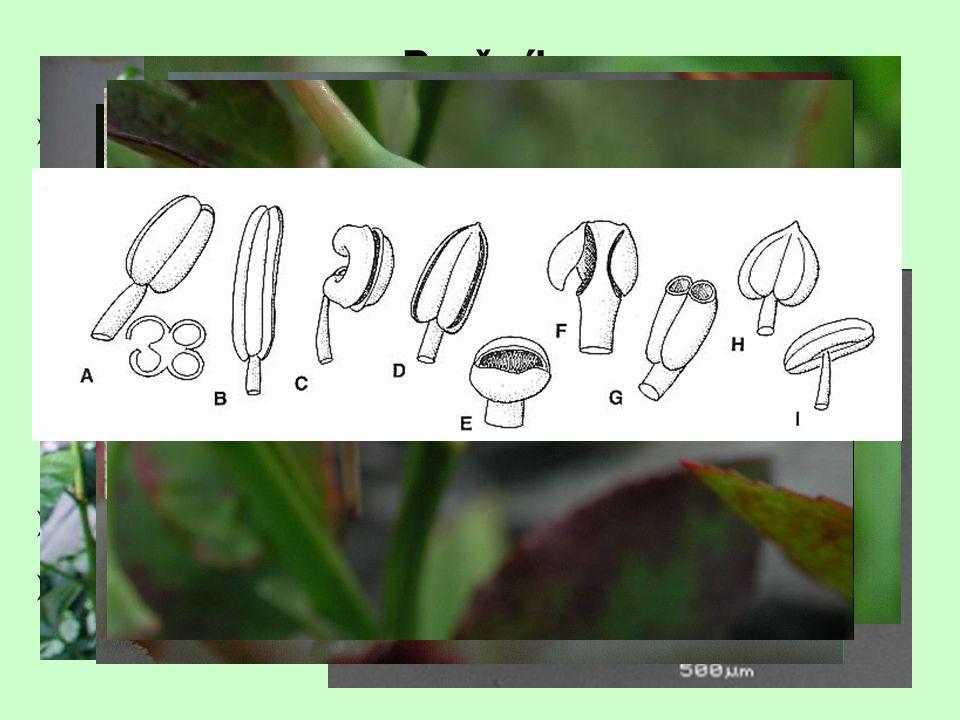 Prašník 2 prašné váčky, 4 prašná pouzdra (=) mikrosynangium, mikrosporangium. přívěsky. pukání.