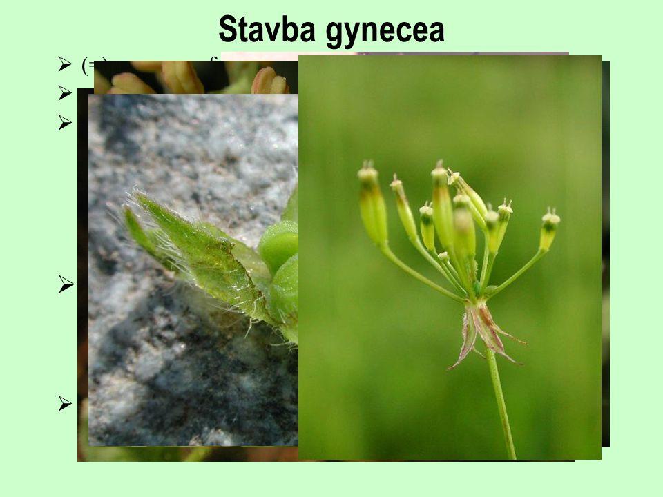 Stavba gynecea čnělka (=) megasporofyl pistillodium semeník