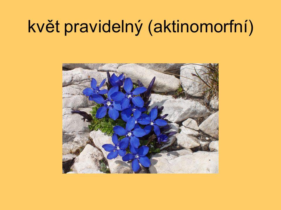 květ pravidelný (aktinomorfní)