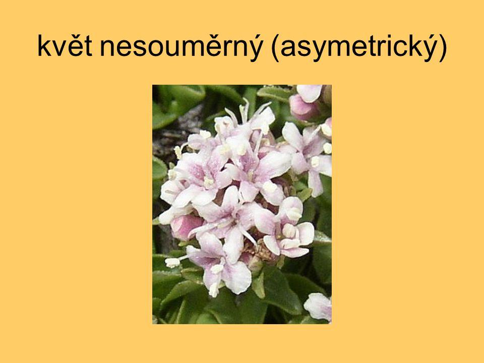 květ nesouměrný (asymetrický)