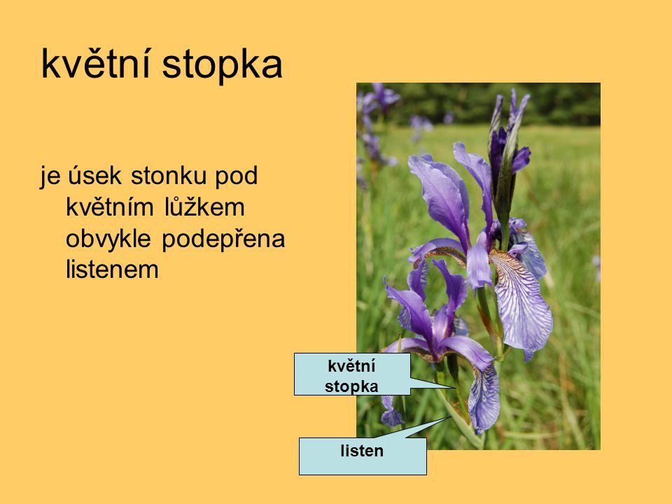 květní stopka je úsek stonku pod květním lůžkem obvykle podepřena listenem květní stopka listen