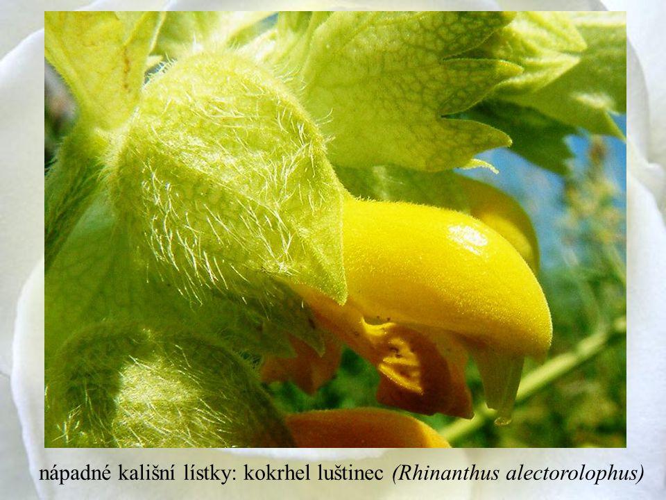 nápadné kališní lístky: kokrhel luštinec (Rhinanthus alectorolophus)