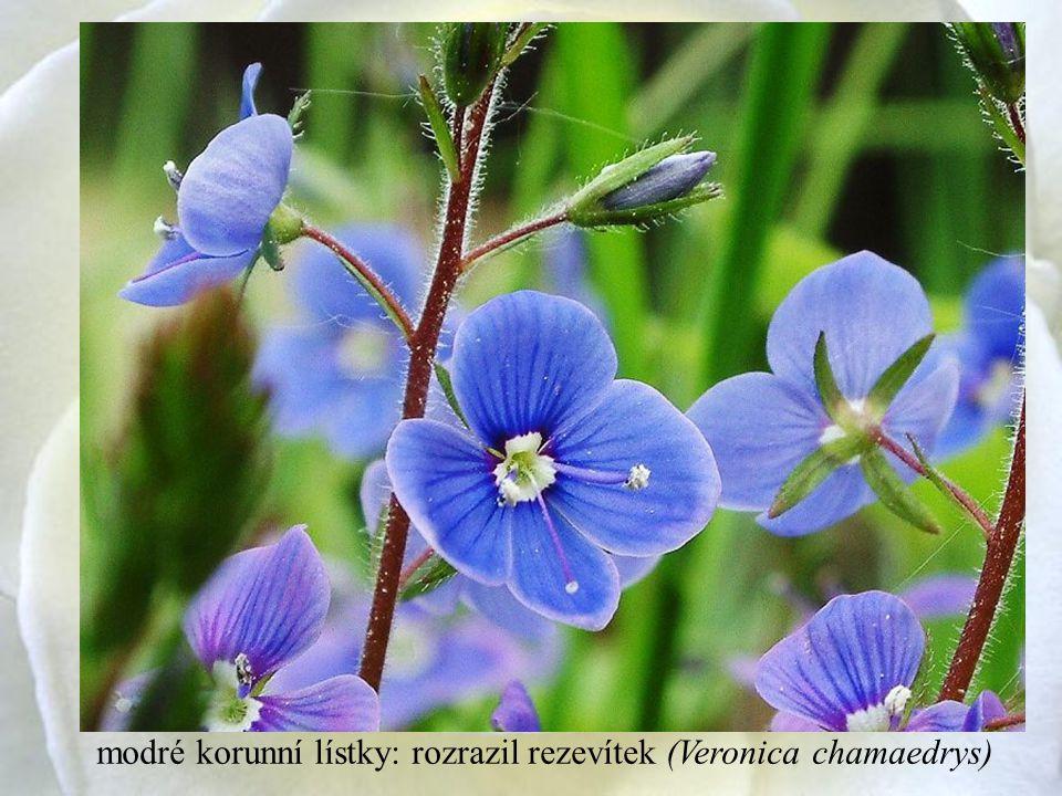 modré korunní lístky: rozrazil rezevítek (Veronica chamaedrys)