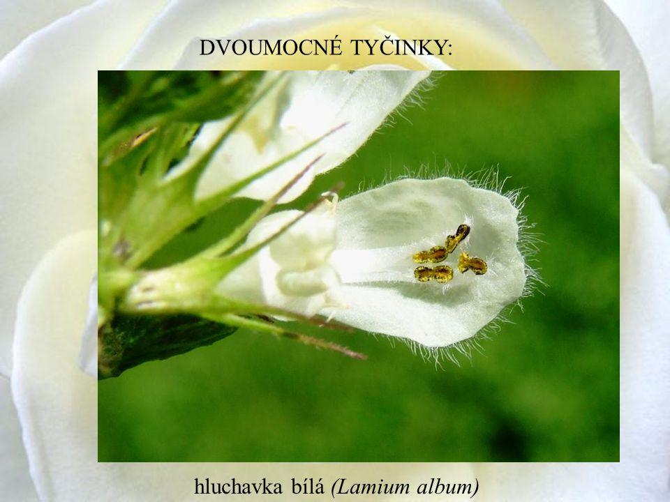 DVOUMOCNÉ TYČINKY: hluchavka bílá (Lamium album)