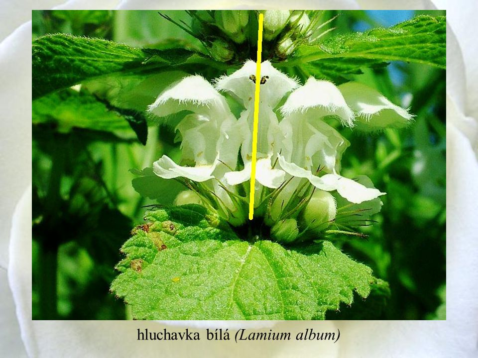 hluchavka bílá (Lamium album)