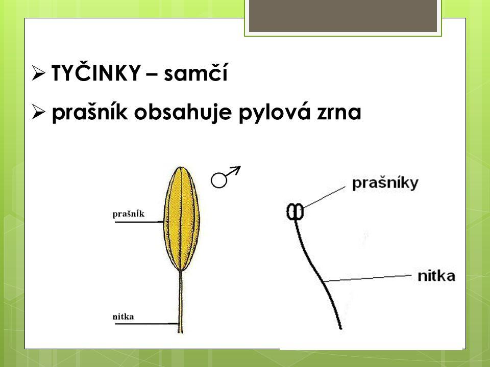TYČINKY – samčí prašník obsahuje pylová zrna