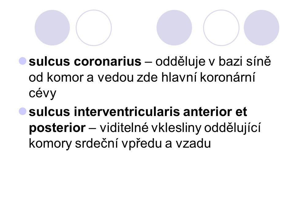 sulcus coronarius – odděluje v bazi síně od komor a vedou zde hlavní koronární cévy