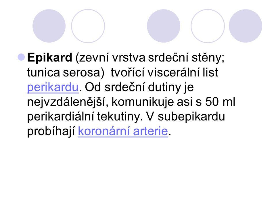 Epikard (zevní vrstva srdeční stěny; tunica serosa) tvořící viscerální list perikardu.