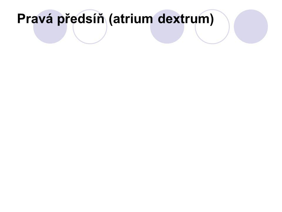 Pravá předsíň (atrium dextrum)