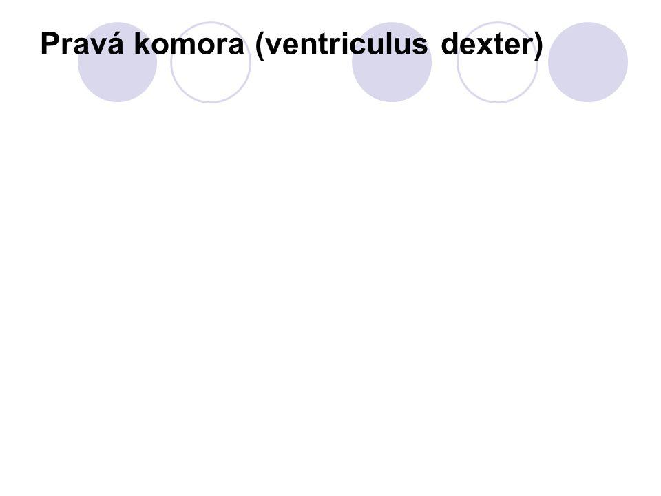 Pravá komora (ventriculus dexter)