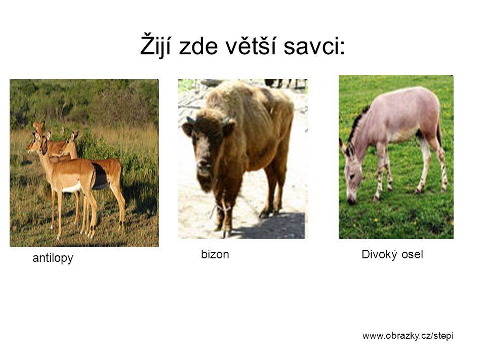 Žijí zde větší savci: bizon Divoký osel antilopy www.obrazky.cz/stepi