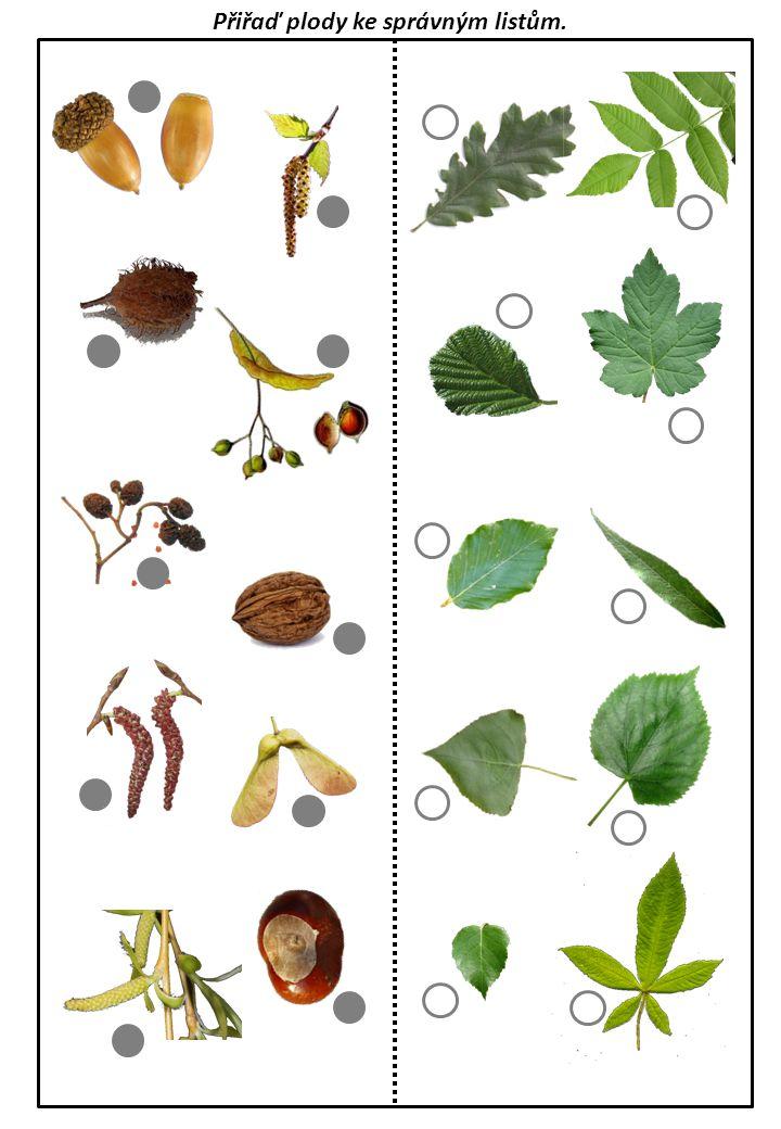 Přiřaď plody ke správným listům.