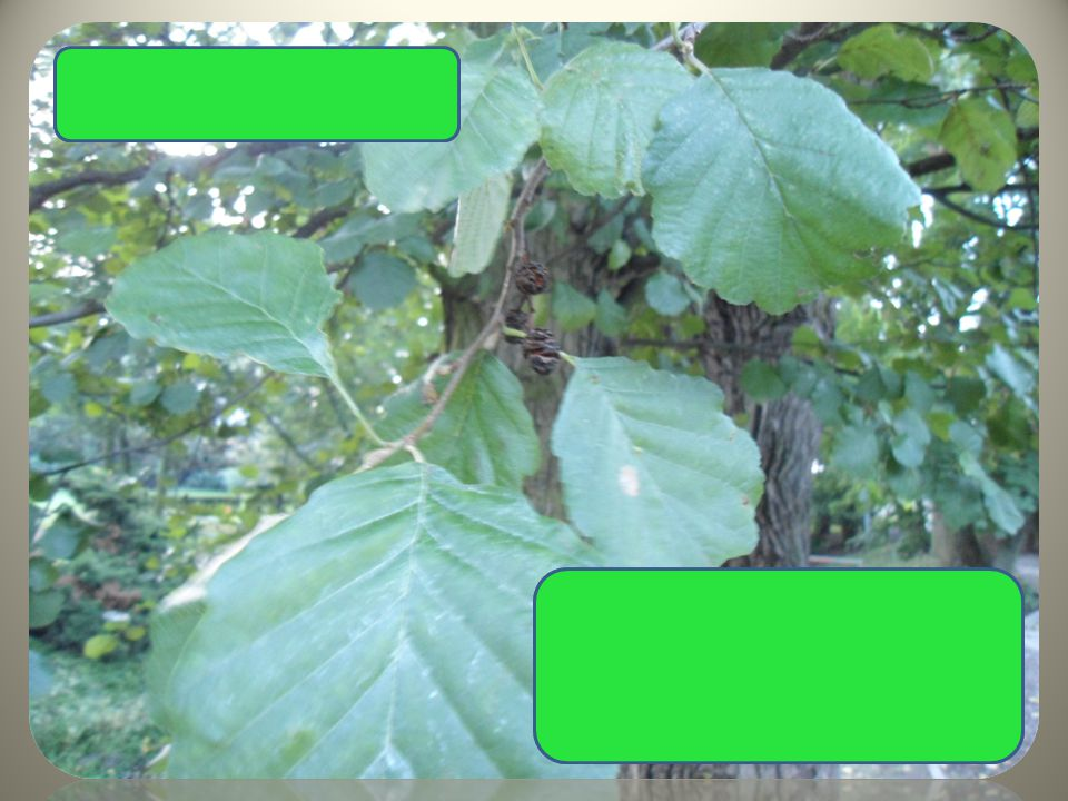 Olše lepkavá listy na vrcholku vykousnuté dřevnaté šištičky