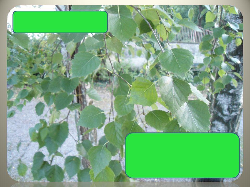 Bříza bělokorá bílošedá kůra převislé větve skoro trojúhelníkovité listy