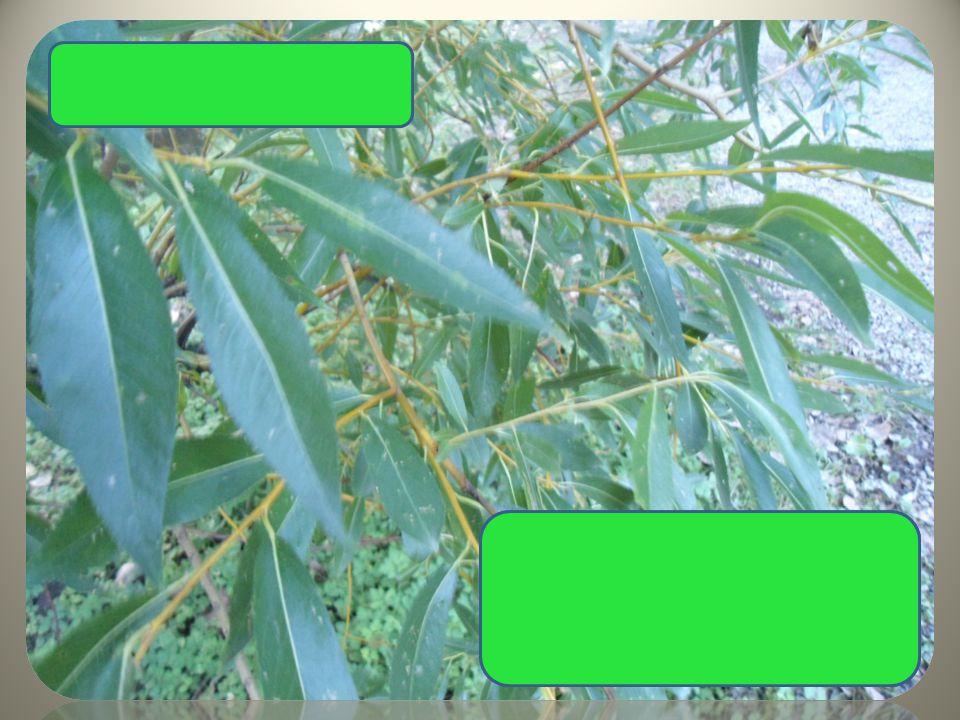 Vrba křehká převislé větve úzké listy