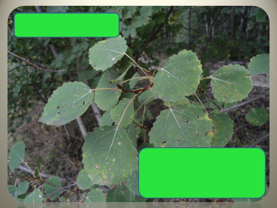 Topol osika okrouhlé listy dlouhé řapíky – neustále se třese