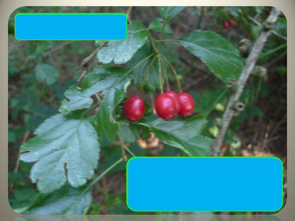 Hloh obecný Trny až 1 cm Typický tvar drobných listů Červené plody