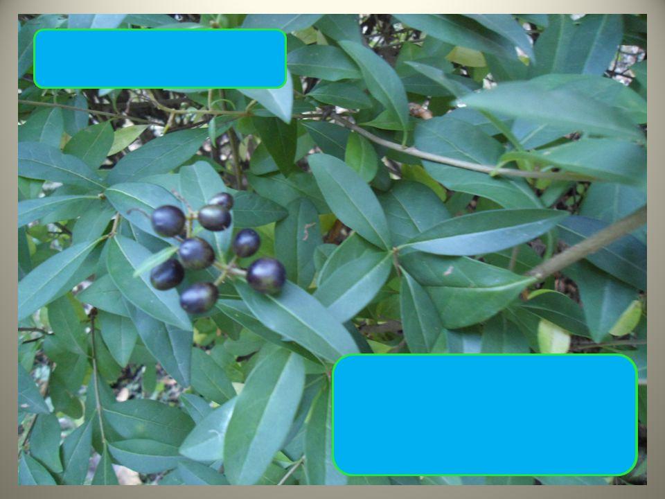Ptačí zob obecný tmavě zelené lesklé lístky modré bobule ve skupinkách