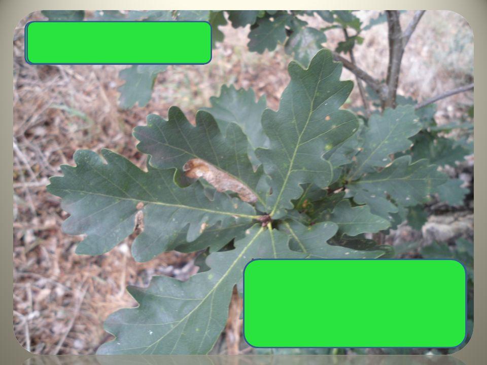 Dub letní laločnaté listy žaludy