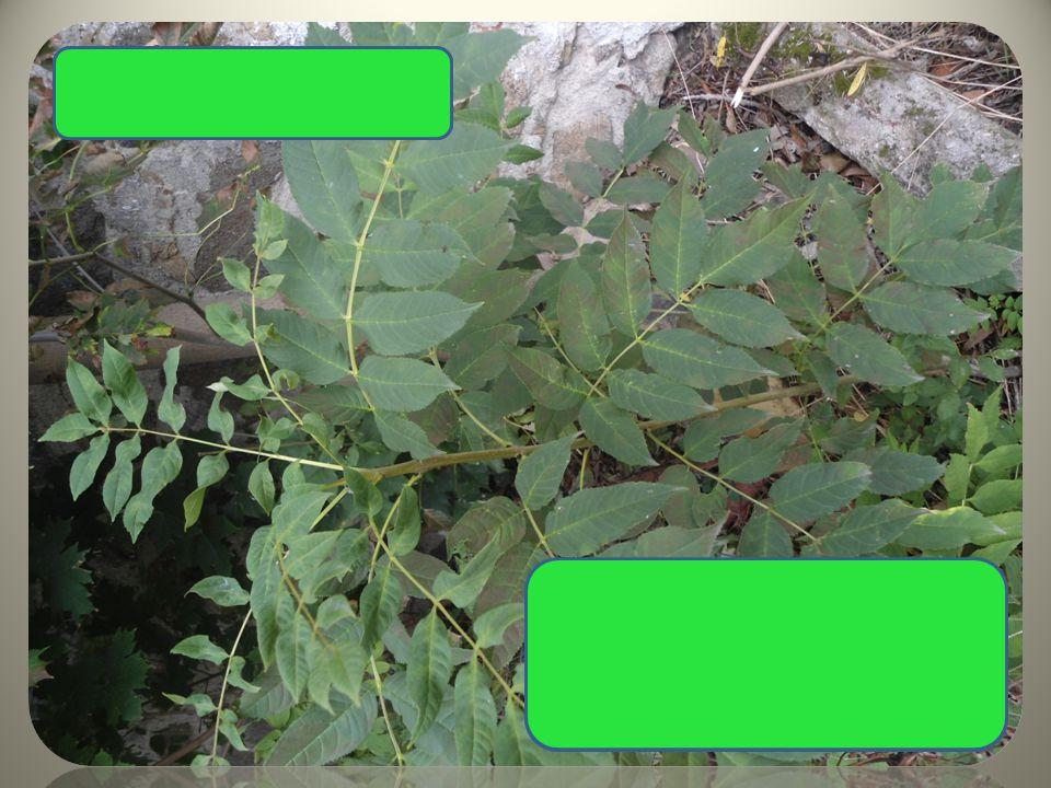 Jasan ztepilý složené listy plod s 1 křidélkem , v trsech