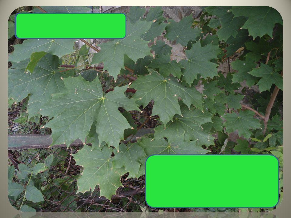 """Javor mléč typický tvar listů ostře špičaté listy plody s dvěma křidélky, """"nosánky"""