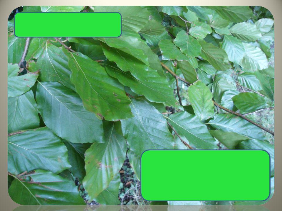 Buk lesní hladká kůra celokrajný hladký list bukvice