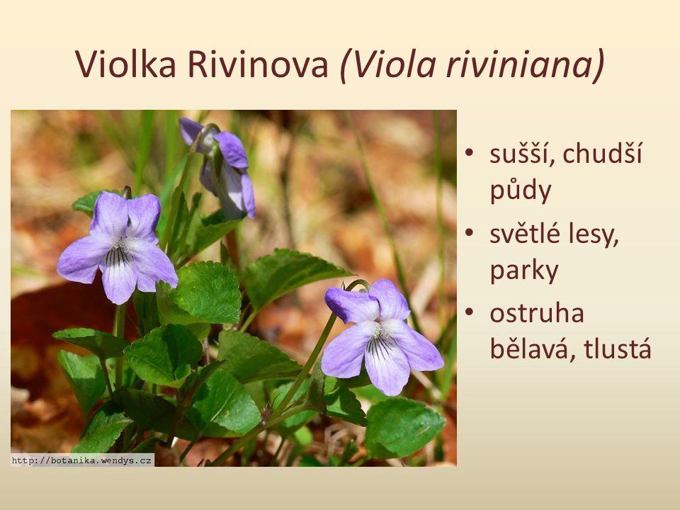 Violka Rivinova (Viola riviniana)
