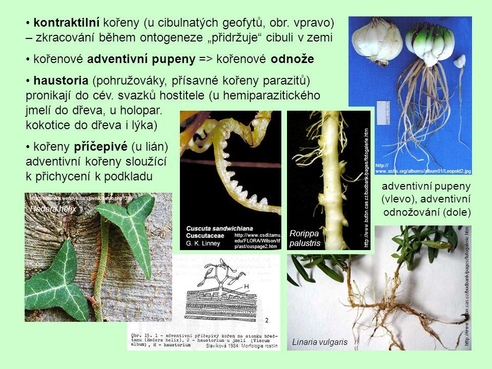 • kořenové adventivní pupeny => kořenové odnože