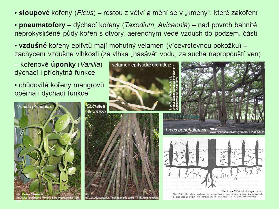 – kořenové úponky (Vanilla) dýchací i příchytná funkce