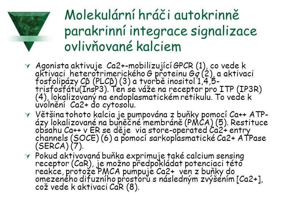 Molekulární hráči autokrinně parakrinní integrace signalizace ovlivňované kalciem