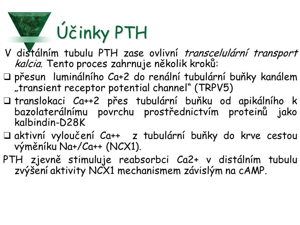Účinky PTH V distálním tubulu PTH zase ovlivní transcelulární transport kalcia. Tento proces zahrnuje několik kroků: