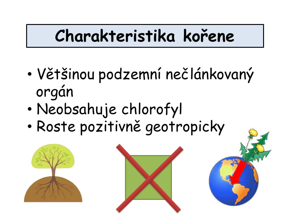 Charakteristika kořene