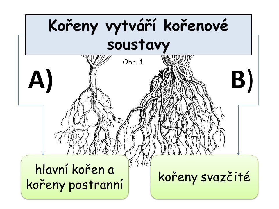Kořeny vytváří kořenové soustavy