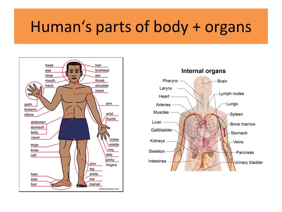 Human's parts of body + organs