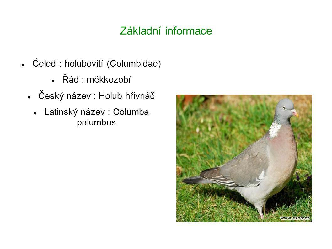 Základní informace Čeleď : holubovití (Columbidae) Řád : měkkozobí