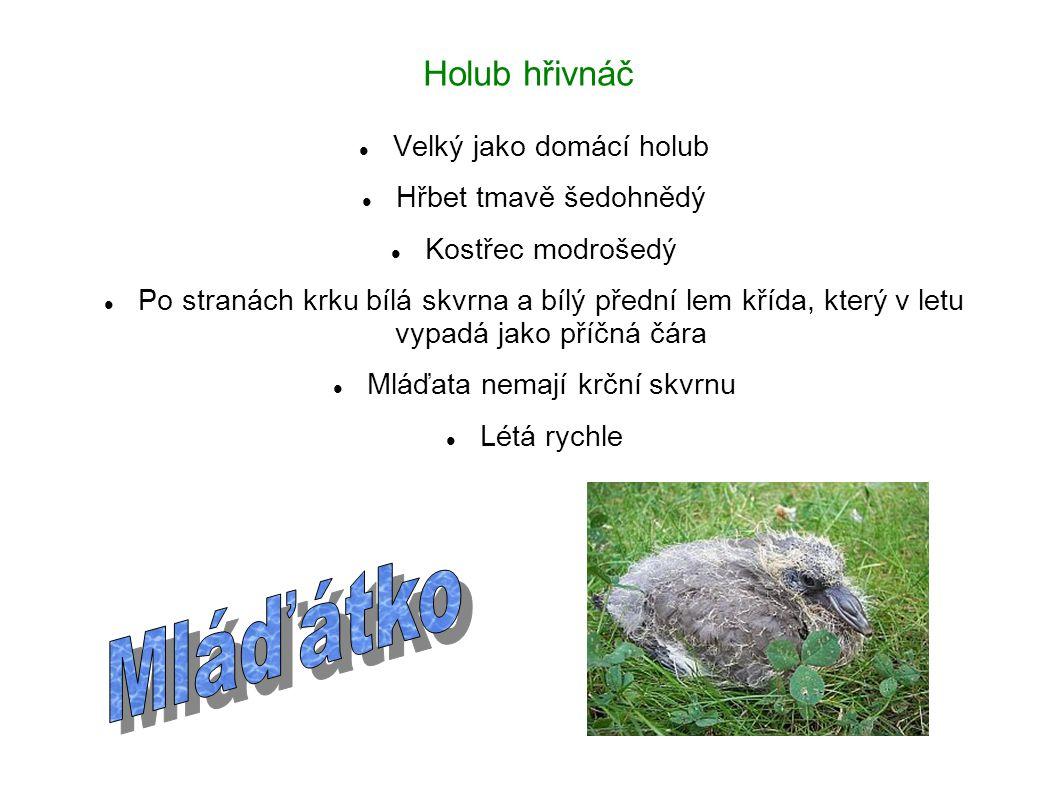 Mláďátko Holub hřivnáč Velký jako domácí holub Hřbet tmavě šedohnědý