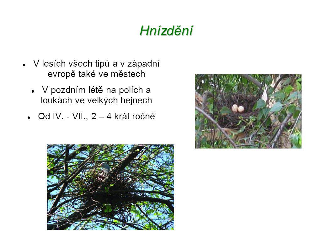 Hnízdění V lesích všech tipů a v západní evropě také ve městech