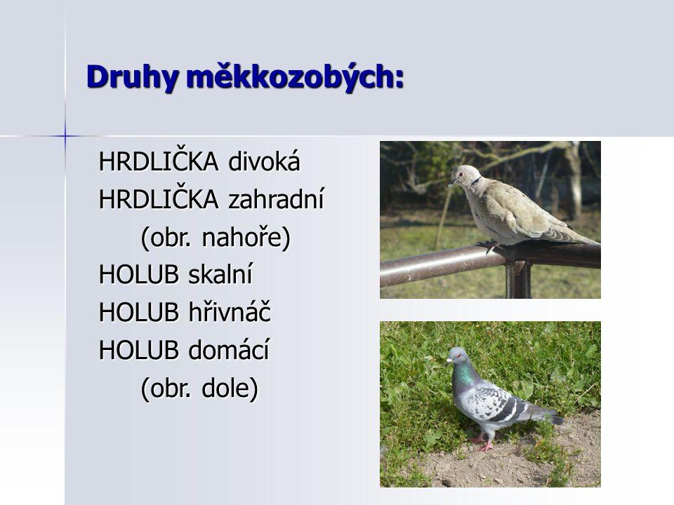 Druhy měkkozobých: HRDLIČKA divoká HRDLIČKA zahradní (obr. nahoře)