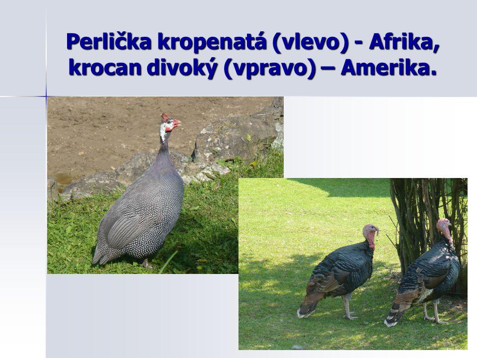 Perlička kropenatá (vlevo) - Afrika, krocan divoký (vpravo) – Amerika.