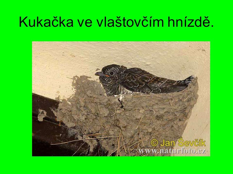 Kukačka ve vlaštovčím hnízdě.