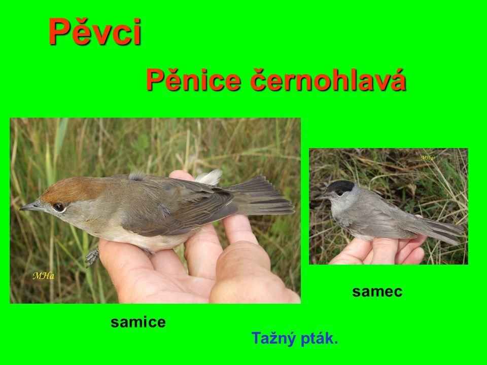 Pěvci Pěnice černohlavá samec samice Tažný pták.