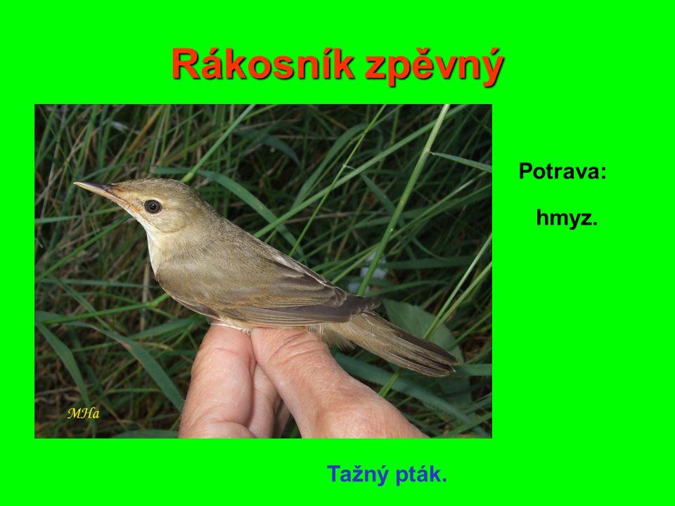 Rákosník zpěvný Potrava: hmyz. Tažný pták.