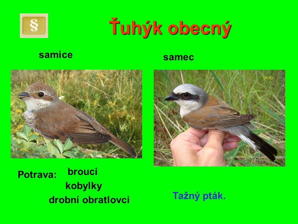 Ťuhýk obecný samice samec brouci Potrava: kobylky Tažný pták.