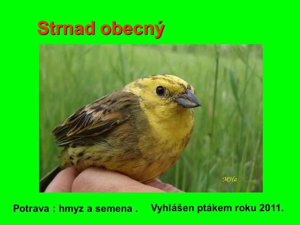 Strnad obecný Potrava : hmyz a semena . Vyhlášen ptákem roku 2011.