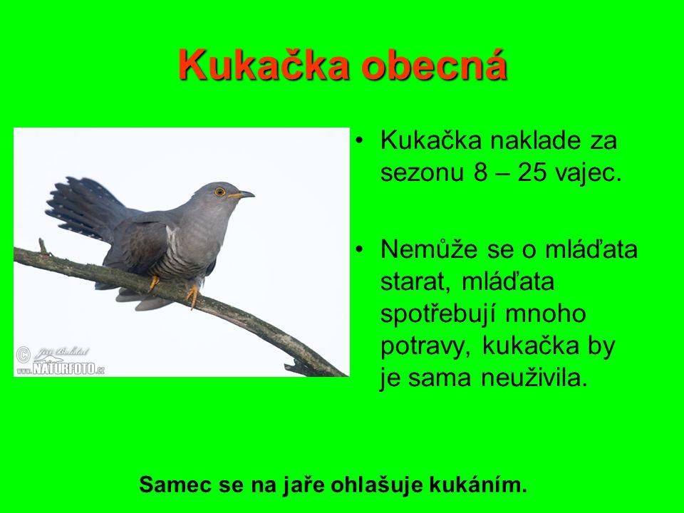 Kukačka obecná Kukačka naklade za sezonu 8 – 25 vajec.