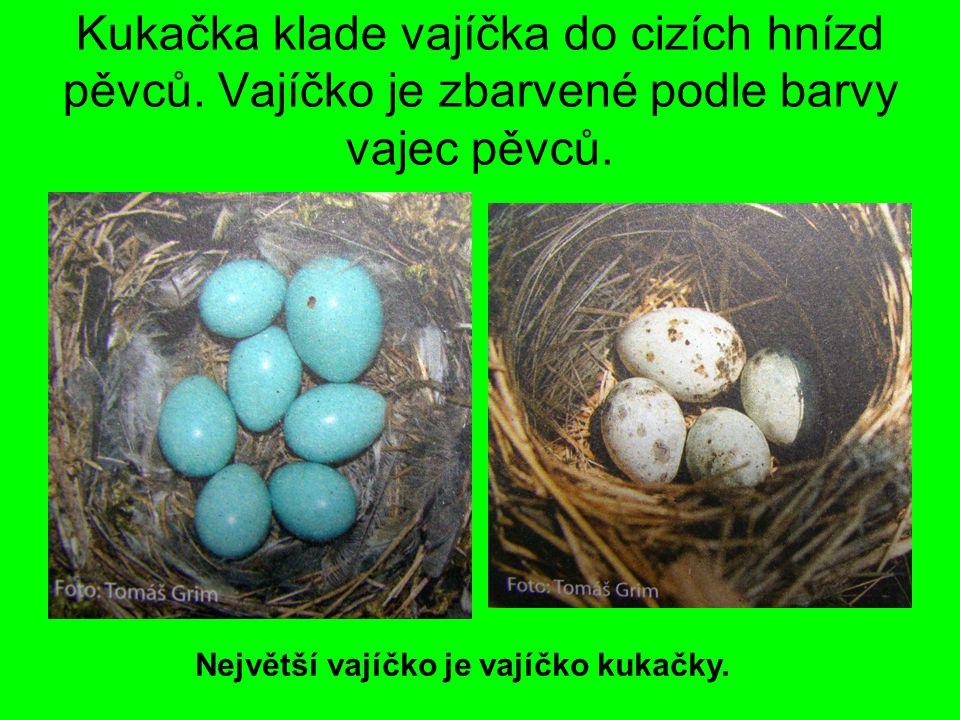 Kukačka klade vajíčka do cizích hnízd pěvců