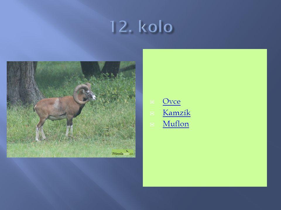 12. kolo Ovce Kamzík Muflon