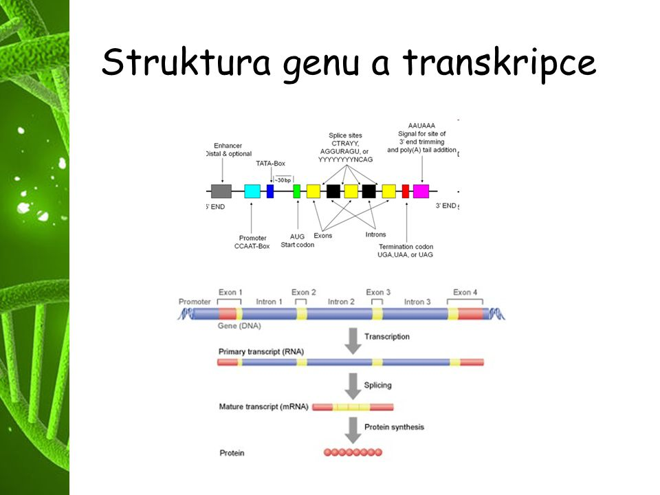 Struktura genu a transkripce