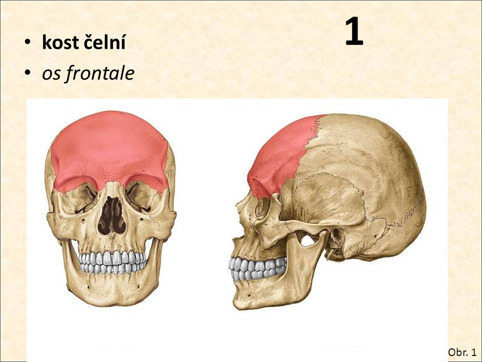 1 kost čelní os frontale Obr. 1